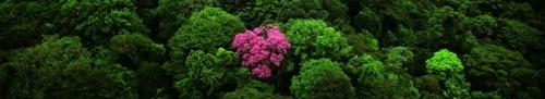 Pinktrumpet tree